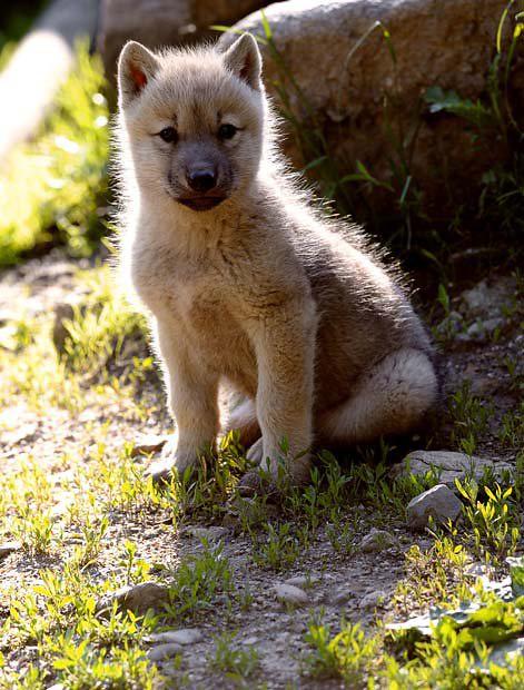 wolf cub games
