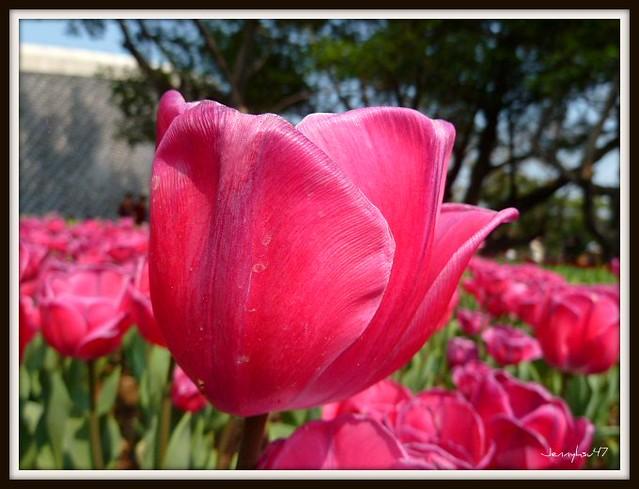 Photo:Common Garden Tulipa-- 鬱金香04 By jennyhsu47