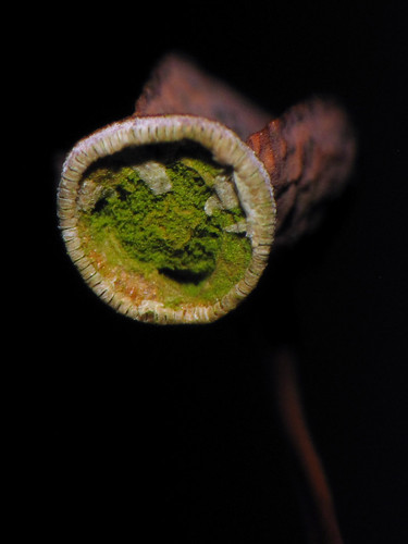 macro green moss northcarolina capsule botany spore polytrichum chlorophyll sporophyte bryophyte photosynthesis meiosis westernnorthcarolina peristome bryophyta raynoxdcr250 haircapmoss chloroplast sporangium southernappalachians ccbyncsa alternationofgenerations canonpowershotsx10is speedlite270ex