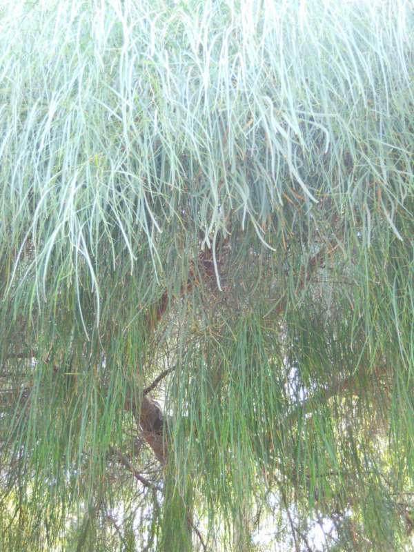 Acacia saligna v 2