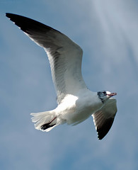 gannet(0.0), flight(0.0), animal(1.0), albatross(1.0), wing(1.0), european herring gull(1.0), beak(1.0), bird(1.0), seabird(1.0),