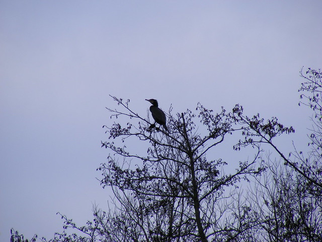 Cormorant in a tree