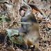 Rhesus Macaque (Duncan Stewart)