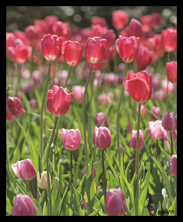 Pretty in Pink [tulips]
