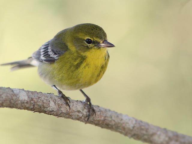 Pine Warbler 2-20110311