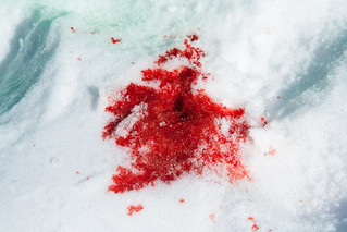 Blood spots on the snow