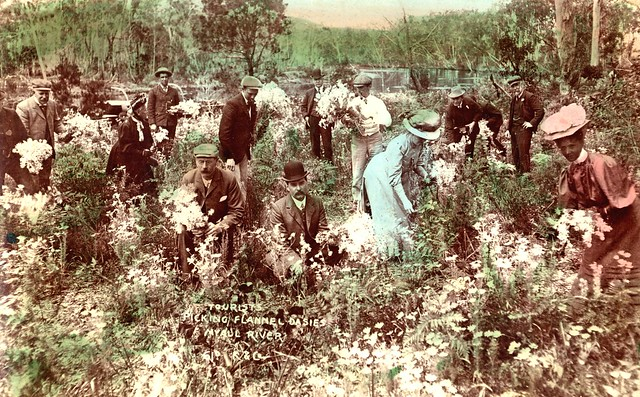 Tourists picking Flannel Daisies, Myall River, NSW, Australia [c.1900's]
