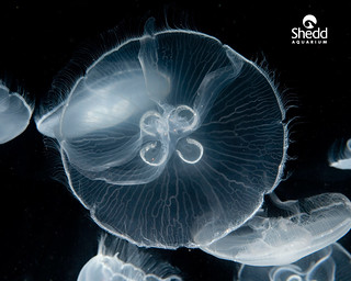 Black-Moon-Jelly