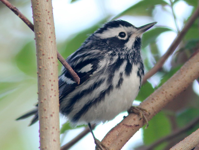 Black-and-White Warbler 20110406