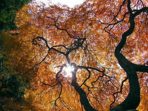 The Sun in the Autumn Maple Tree
