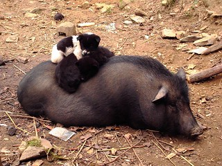 Puppy, piggies and mother pig