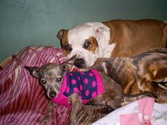 A Pitbull and His Chihuahua