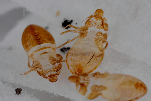 3 shed skins of 5th instar bed bug nymphs