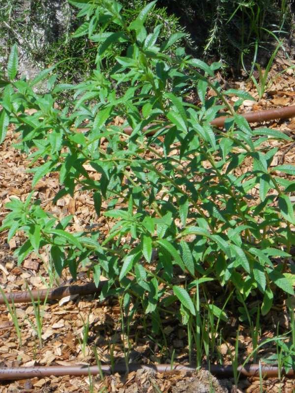 Aloysia triphylla v 1