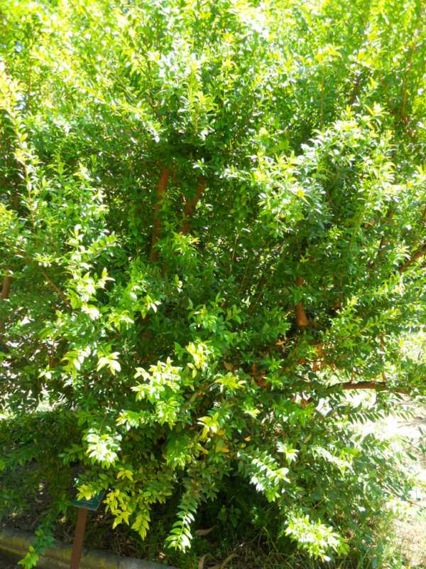 Myrtus communis 'Leucocarpa' v 1