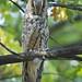 Long-eared Owl (Malcolm Stott)