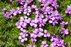 Moss Campion - Photo (c) Lars Falkdalen Lindahl, some rights reserved (CC BY-NC-SA)