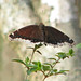 Mourning Cloak lit from behind by a sycamore catching the sun
