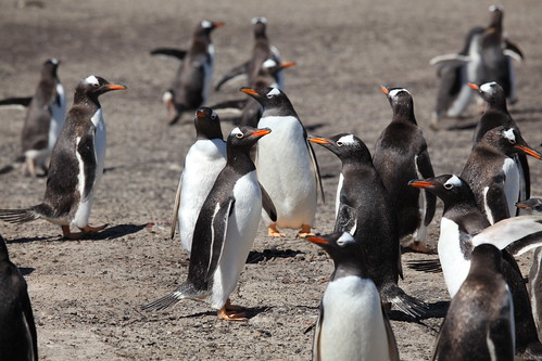 Gentoo Penguins on Saunders Island