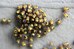 animal, honey bee, yellow, invertebrate, macro photography, membrane-winged insect, flora, fauna, close-up,