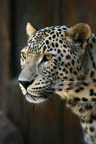 HVH-Info-Footprint-Leopard