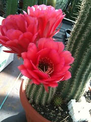 #piante #pachycereus #fiore