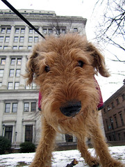 norfolk terrier(0.0), norwich terrier(0.0), cairn terrier(0.0), australian terrier(0.0), dog breed(1.0), animal(1.0), berger picard(1.0), dog(1.0), schnoodle(1.0), pumi(1.0), pet(1.0), australian silky terrier(1.0), glen of imaal terrier(1.0), poodle crossbreed(1.0), wire hair fox terrier(1.0), lakeland terrier(1.0), welsh terrier(1.0), irish terrier(1.0), irish soft-coated wheaten terrier(1.0), goldendoodle(1.0), carnivoran(1.0), terrier(1.0), airedale terrier(1.0),