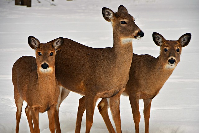 miami woods, forest preserve three deer posing 17-1 4x6 photo 17,000