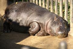 Pygmy Hippopotamus - 09