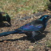 Quiscalus quiscula, Common Grackle
