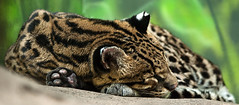 animal, big cats, leopard, mammal, macro photography, fauna, close-up, ocelot, wildlife,