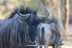 water buffalo(0.0), bull(0.0), cattle-like mammal(1.0), animal(1.0), wildebeest(1.0), mammal(1.0), horn(1.0), fauna(1.0), wildlife(1.0),