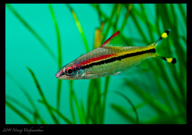 Denisons Barb Bright and colorful variety of Denisons Ba ...