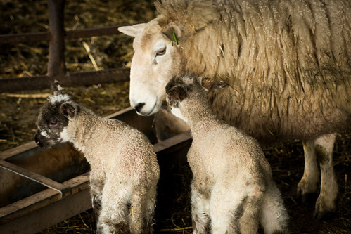 A sheep feeding with two lambs