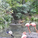 Flamingos at the Pittsburgh Zoo and Aquarium in Pittsburgh, Pennsylvania.  See More: Howder Travel Adventures