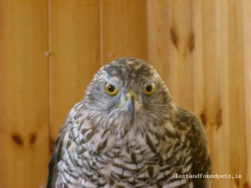 Mon, Jan 24th, 2011 Lost Male Goshawk Bird - Between Ballymoe & Castlerea, Ballymoe, Galway
