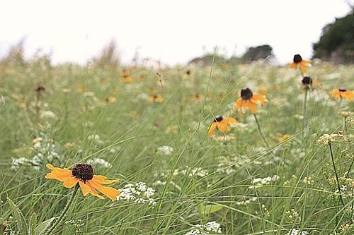 Pasture Wildflowers