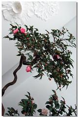 Camellia ~ b