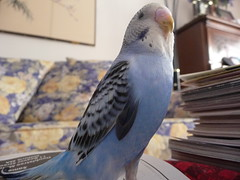 cockatoo(0.0), cockatiel(0.0), african grey(0.0), animal(1.0), parrot(1.0), wing(1.0), pet(1.0), fauna(1.0), parakeet(1.0), blue(1.0), common pet parakeet(1.0), beak(1.0), bird(1.0),