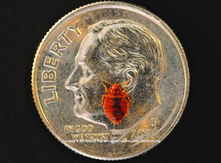 Size of bed bug compared to dime