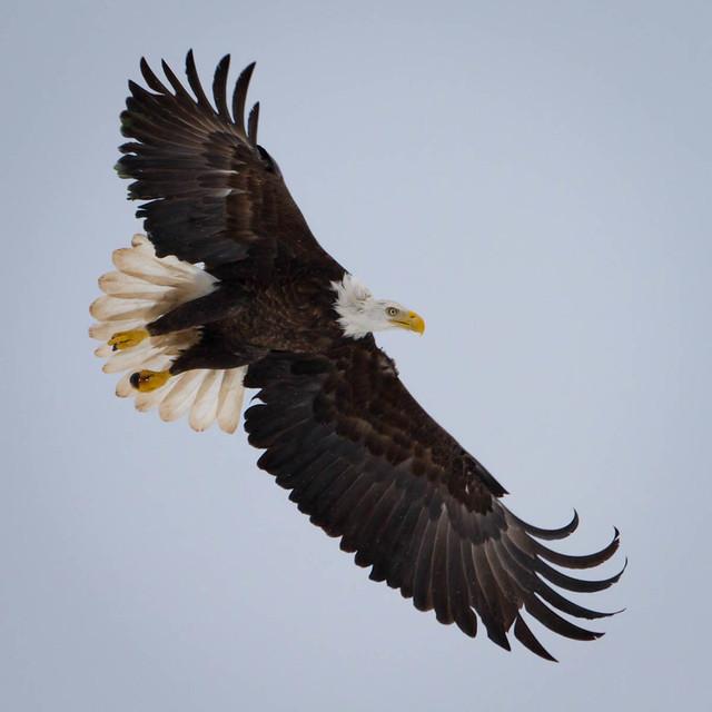 Mills eagles click for details mills eagles tank click for details