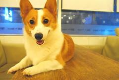 dog breed, animal, dog, canaan dog, pet, pembroke welsh corgi, norwegian lundehund, carnivoran, welsh corgi,