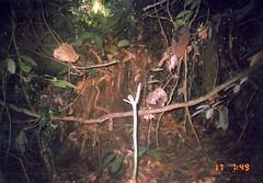 Kinabalu Squirrel