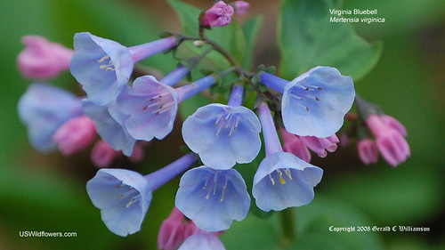 Virginia Bluebells - Mertensia virginica