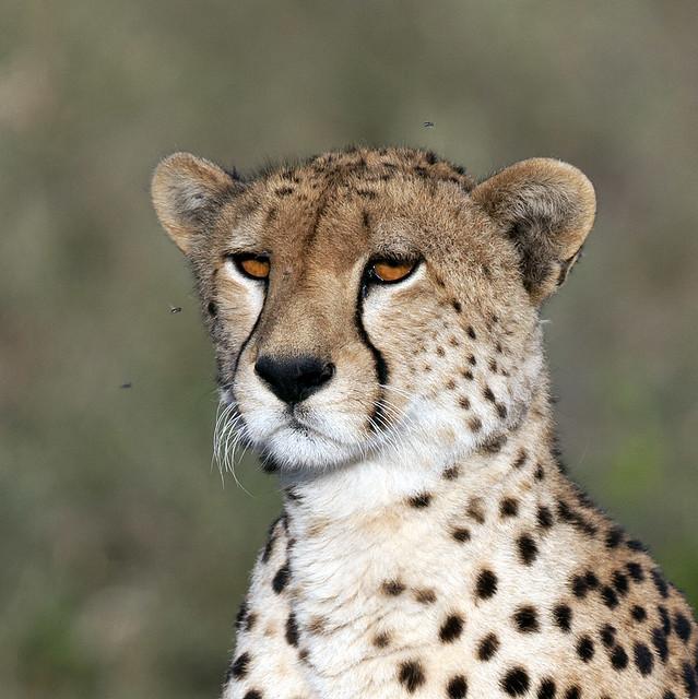 Female Cheetah Close up Portrait