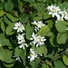 Small photo of Amelanchier alnifolia.