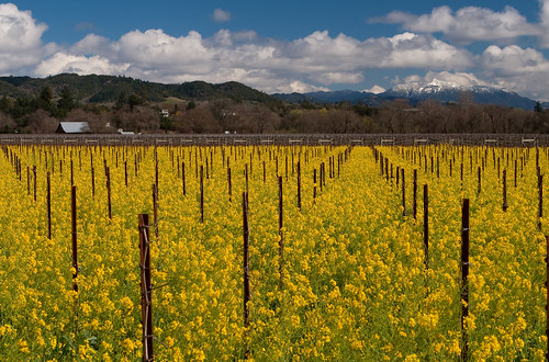 california mountain snow vineyard vines wine healdsburg