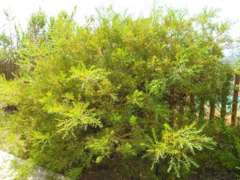 Acacia anceps 1