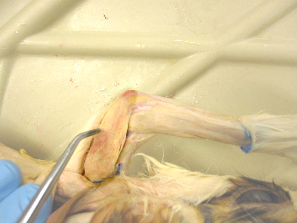 Rabbit Triceps Brachii Lateral Head All Pectoral Muscles T Flickr