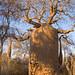 Bottle Baobab (Paul Stanbury)